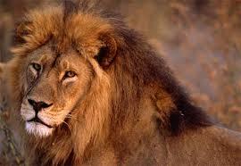 external image african-lion-closeup.jpg