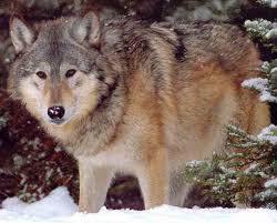 ما الفرق بين هذين؟ Wolf Eastern Timber .jpg