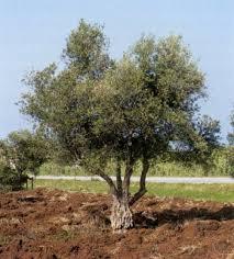 زيتون فلسطين Olive-tree