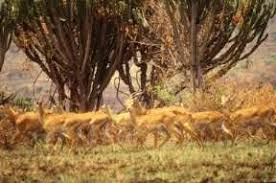 external image savanna_impala_FAO_17376_K_Dunn_small.jpg