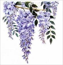 wisteria vine bloom perfect for garden arches