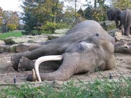 http://commons.wikimedia.org/wiki/Image:Sleeping_asian_elephant.jpg