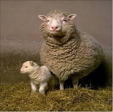 שיבוט יונק ראשון בעולם: הכבשה דולי