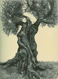 עץ זית  גזע מפותל מרהיב