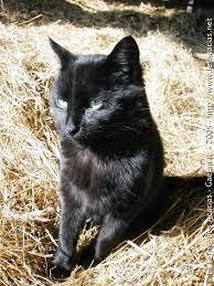 274-portrait-chat-noir-soleil dans Buccolique