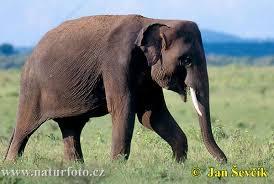 pune poza cere poza - Pagina 2 Asiatische-elefant--elephas-maximus-1