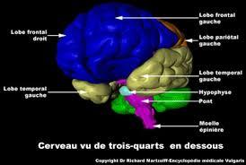Neurologie (Collection) Pitié Salpétrière dans Neurologie visuel-cerveau-3quarts-de3
