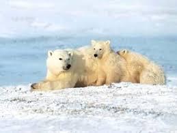 https://www.futura-sciences.com/news-ours-polaires-auront-ils-disparu-canada-25-ans_8759.php