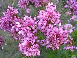 brezo y flores de bach